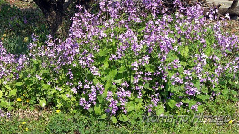 ももの木の下に群生する、春のオオアラセイトウ