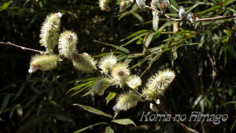 ネコヤナギの花穂