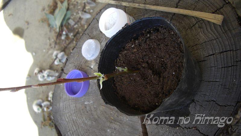 刺し穂を土に挿す