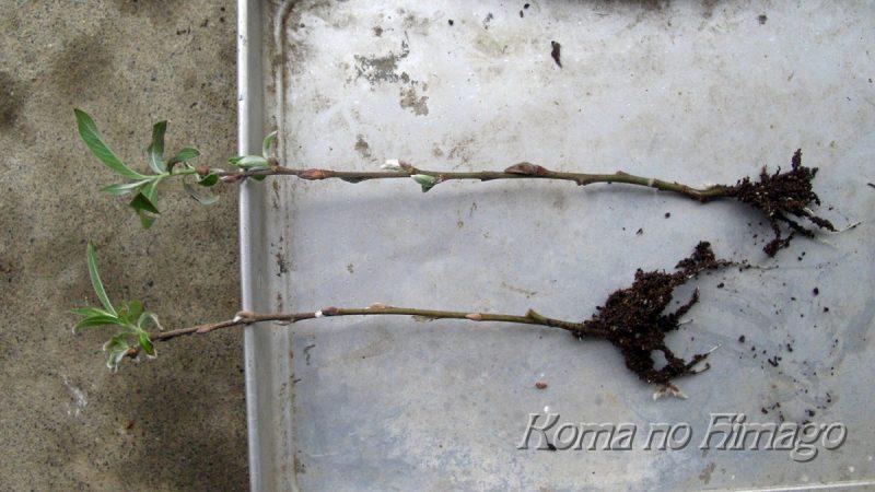 発根しているネコヤナギの刺し穂