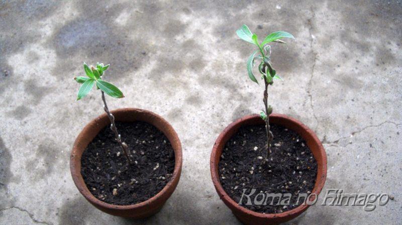 植木鉢に植え替えたネコヤナギの刺し穂
