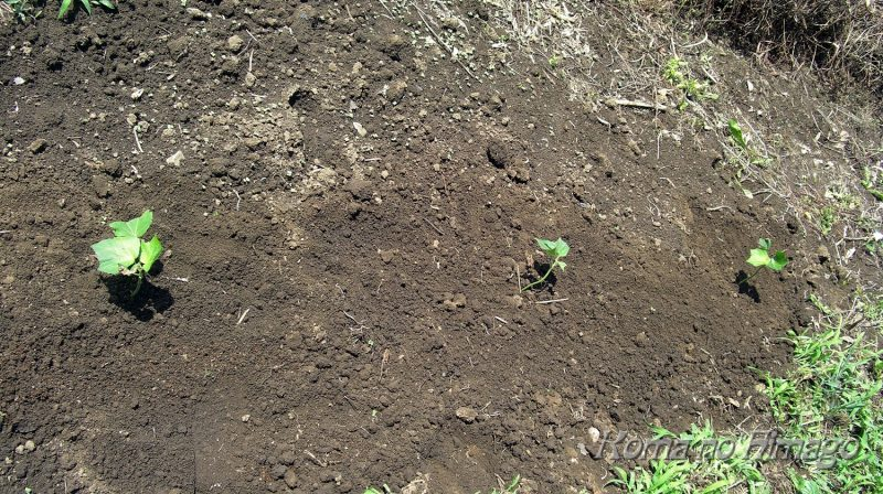庭に植え付けたフヨウ