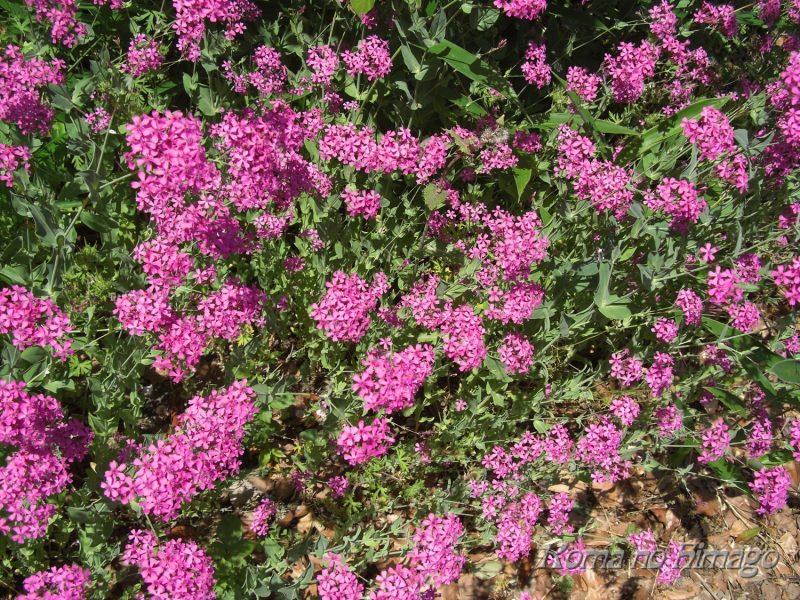 庭に咲いたムシトリナデシコ