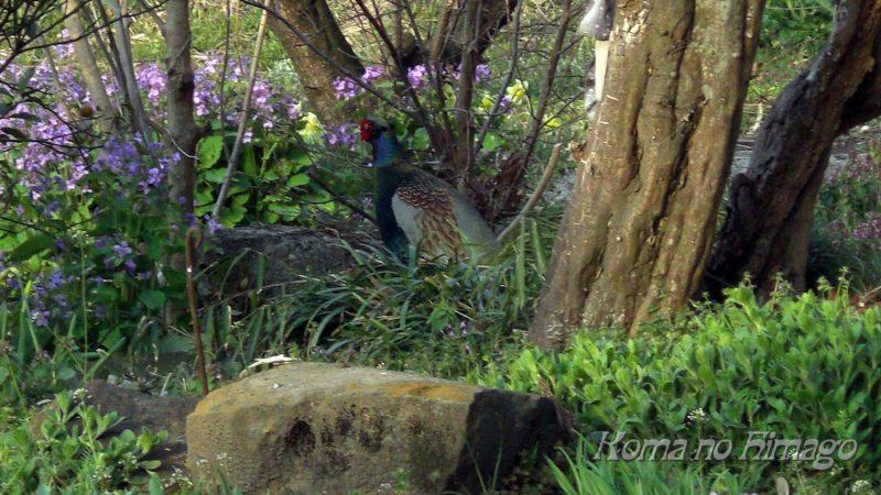 庭に現れたキジ